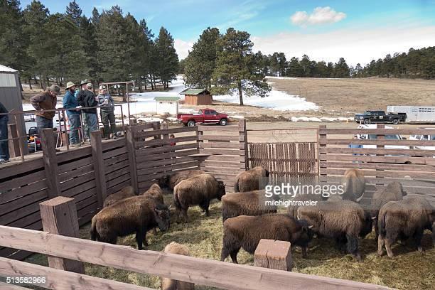 Denver Parks public bison herd auction Genesee Colorado Mountains