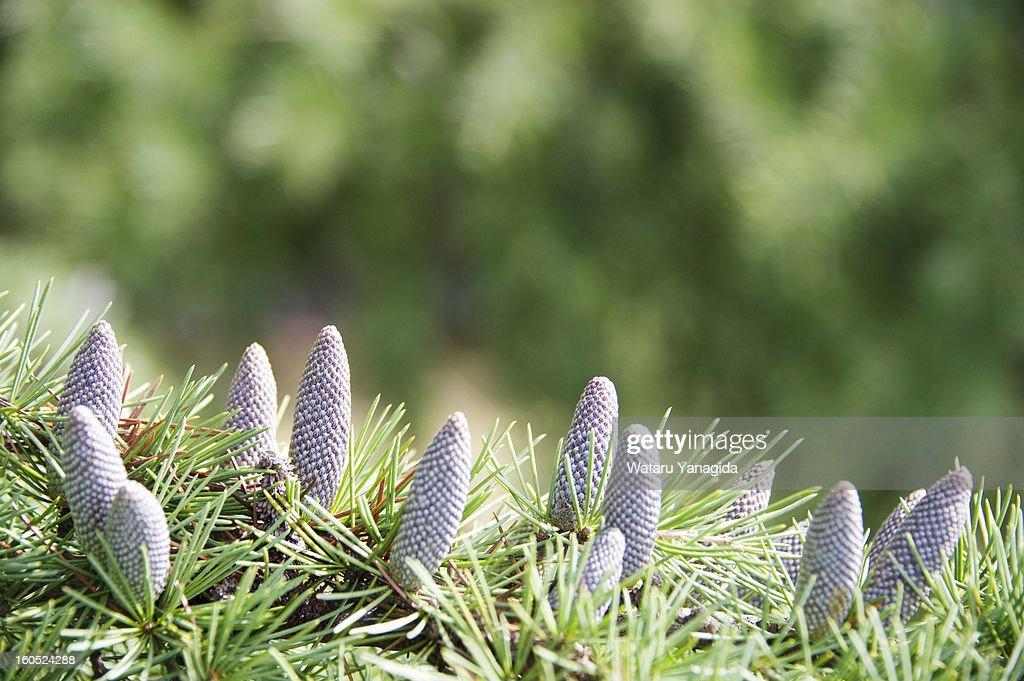 Deodar cedar cones on branch : Stock Photo