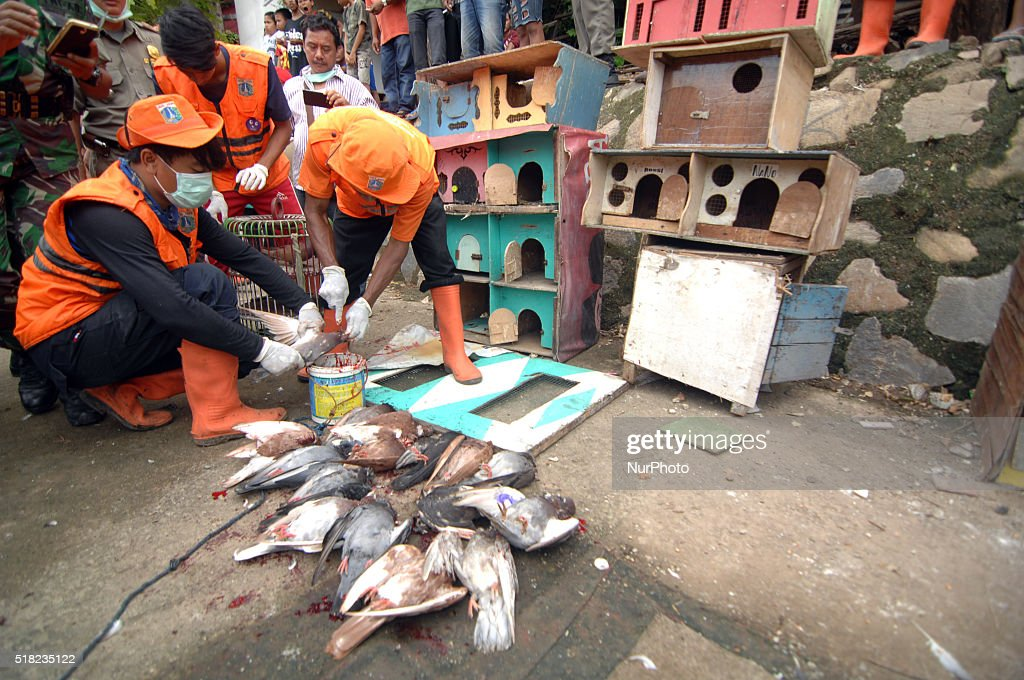 culling of birds to prevent avian influenza getty images. Black Bedroom Furniture Sets. Home Design Ideas