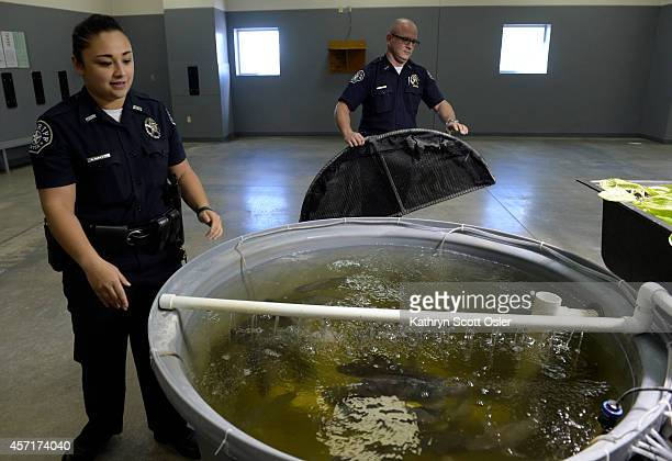 Deputies Hazel Pablo left and Jeffrey Bush remove a net covering so they can feed the fish Sheriff deputies at the Denver County Jail at 10500 E...