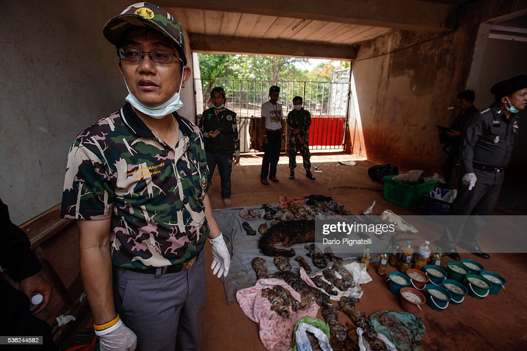 Deputy DNP director-general Adisorn Nuchdamrong stands by the carcasses of 40 tiger cubs and a bear found undeclared at the Wat Pha Luang Ta Bua Tiger Temple on June 1, 2016 in Kanchanaburi province, Thailand. Wildlife authorities in Thailand raided a Buddhist temple in Kanchanaburi province where 137 tigers were kept, following accusations the monks were illegally breeding and trafficking endangered animals. Forty of the 137 tigers were rescued by Tuesday from the country's infamous 'Tiger Temple' despite opposition from the temple authorities.