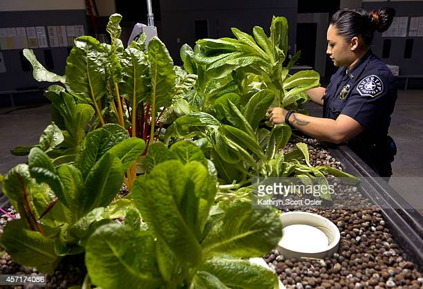 Deputy Hazel Pablo harvests large plants of Romaine lettuce Sheriff deputies at the Denver County Jail at 10500 E Smith Road in Denver have launched...