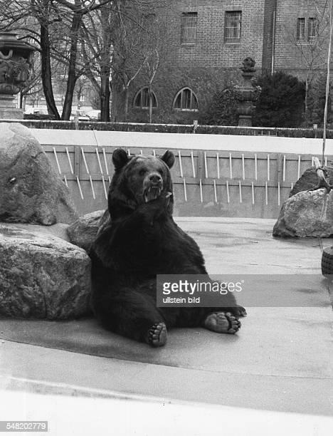 Der Bärenzwinger mit Braunbär Thilo Februar 1994