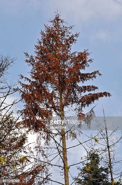 Der krummzähnige Tannenborkenkäfer hat in der Nähe des Friedhofs in Scheidt viele Bäume zerstört die nun abgeholzt werden müssen fotografiert Im Bild...