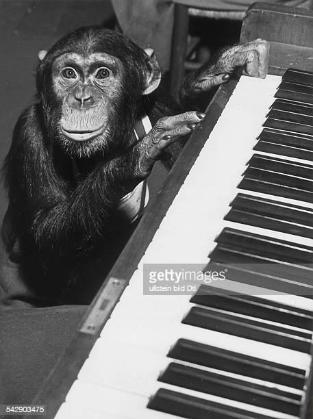 Der Schimpanse Bobby am Klavier in dem Film 'Affentheater' 1955