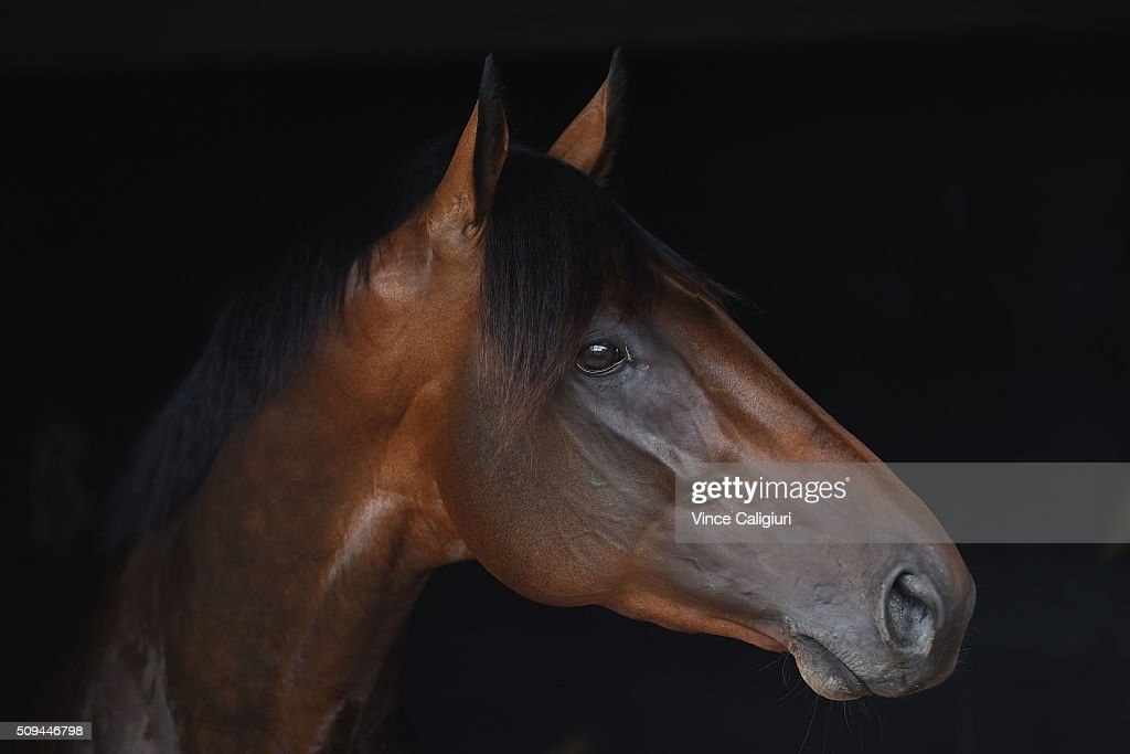 Derby winner Tarzino from Mick Price racing poses in his stable box during the launch of 'Relaxed Racing' carnival at Caulfield Racecourse on February 11, 2016 in Melbourne, Australia.