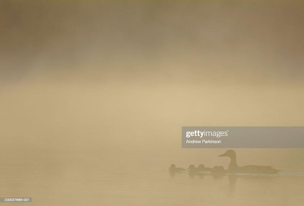 UK, Derbyshire, mallard duck and chicks in water, view through mist : Stock Photo