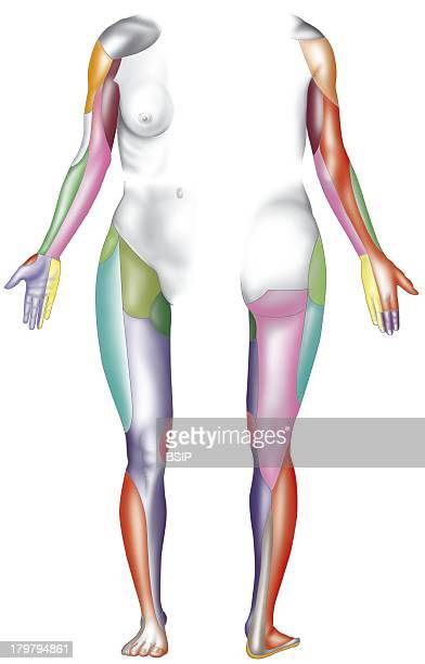 Dermatome Dermatome Innervated Territories Of The Limbs