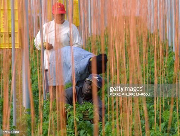 des agriculteurs travaillent aux milieu de plants de tomates le 24 janvier 2001 dans la zone du Lomo de la Canada près d'Almeria à l'intérieur d'une...