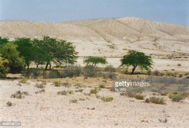Desert acacia trees, An oasis in the Negev desert