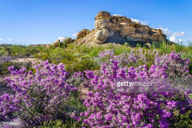 desert azaleas, Big Bend National Park