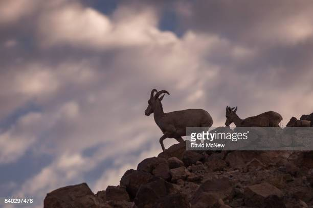 A desert bighorn ewe and her lamb walk a ridge in the early morning in the Trilobite Wilderness region of Mojave Trails National Monument on August...