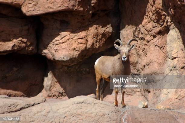 Desert Bighorn Ram looks at visitors at the ArizonaSonora Desert Museum in Saguaro National Park near Tucson Arizona