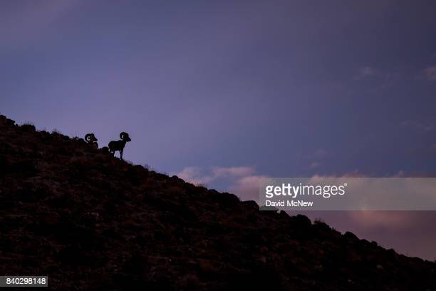 Desert bighorn rams are seen in the early morning in the Trilobite Wilderness region of Mojave Trails National Monument on August 28 2017 near Essex...