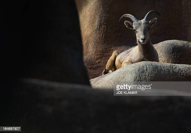 A Desert Bighorn sheep rests at the Los Angeles Zoo and Botanical Garden in Los Angeles on March 26 2013AFP PHOTO/JOE KLAMAR