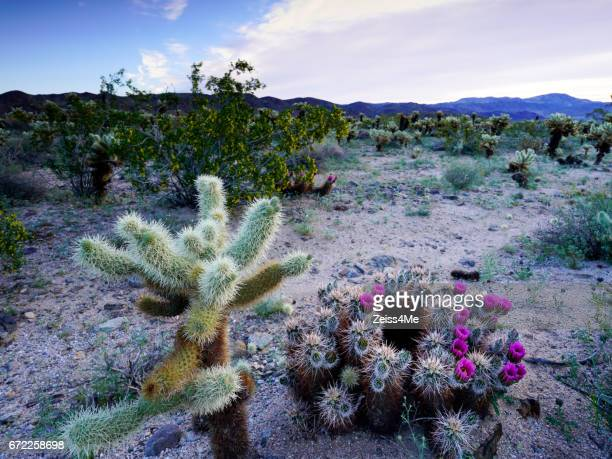 Desert Cactus Plants in Bloom