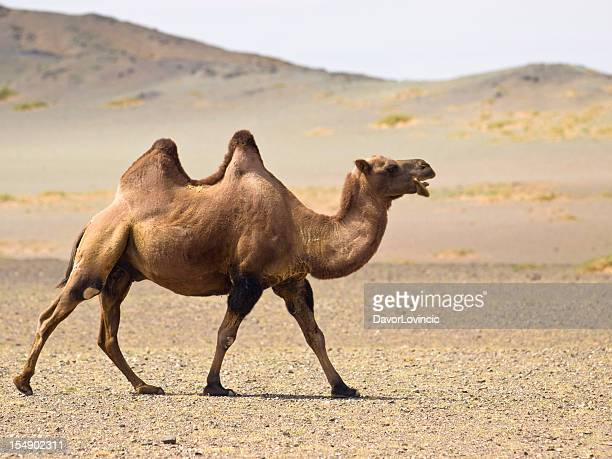 A desert camel with two jumps waking in the sand