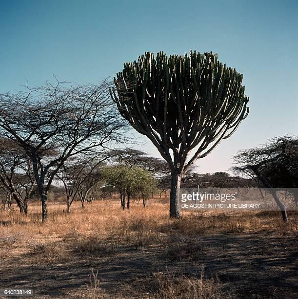 Desert candle or Candelabra spurge Euphorbiaceae Rift Valley Ethiopia
