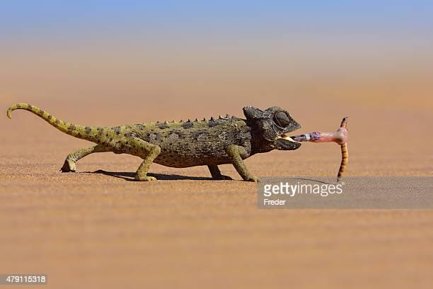 Caméléon regardant un ver dans le désert