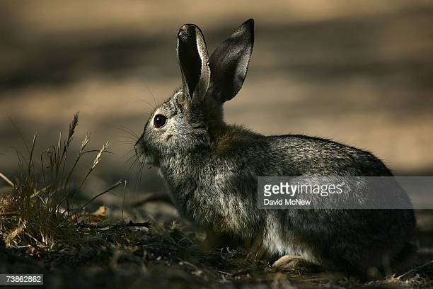 A desert cottontail rabbit forages near a desert marsh as recovery from a 2005 wildfire continues at Big Morongo Wildlife Preserve on April 11 2007...