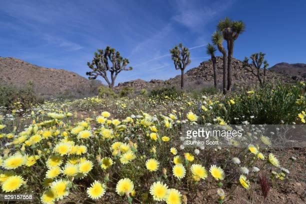 Desert dandelion blooming in spring at Joshua Tree National Park, CA