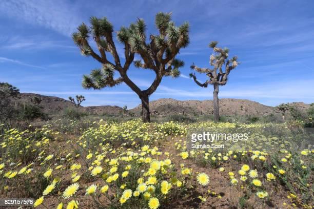 Desert dandelion blooming in spring, Joshua Tree National Park, CA