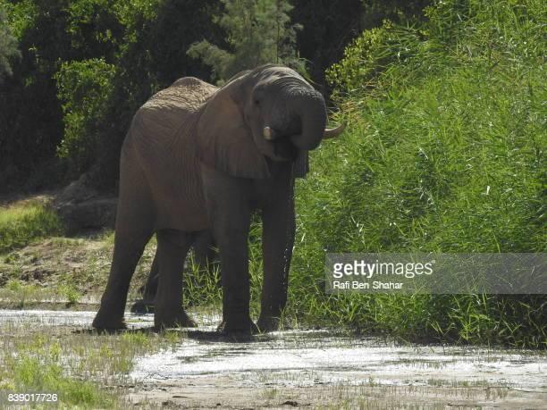 Desert elephant drinking in the Hoanib river