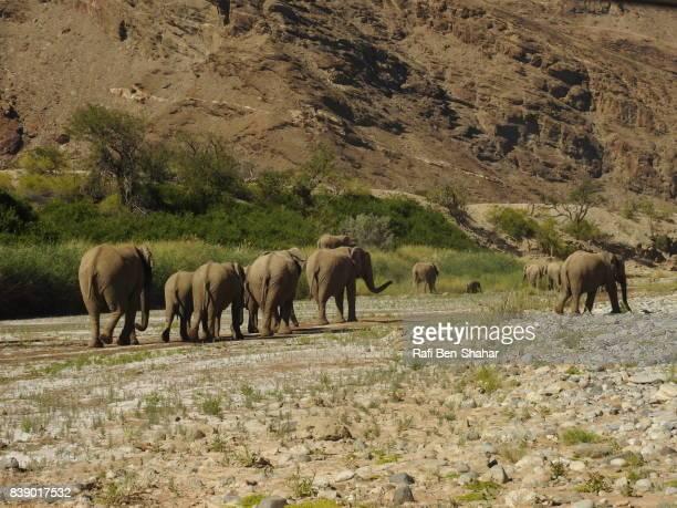 Desert elephants in the Hoanib river