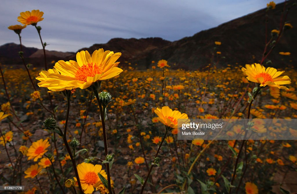 Desert sunflowers carpet the desert floor in the Badwater Basin area off Highway 178, mile marker 30, in Death Valley National Park March 4, 2016. A rare 'super bloom' of wildflowers is taking place in Death Valley National Park. The hottest, driest, lowest place in North America is carpeted in gold and patches of purple, attracting tourists from all over the world