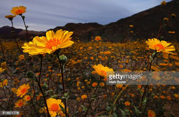Desert sunflowers carpet the desert floor in the Badwater Basin area off Highway 178 mile marker 30 in Death Valley National Park March 4 2016 A rare...