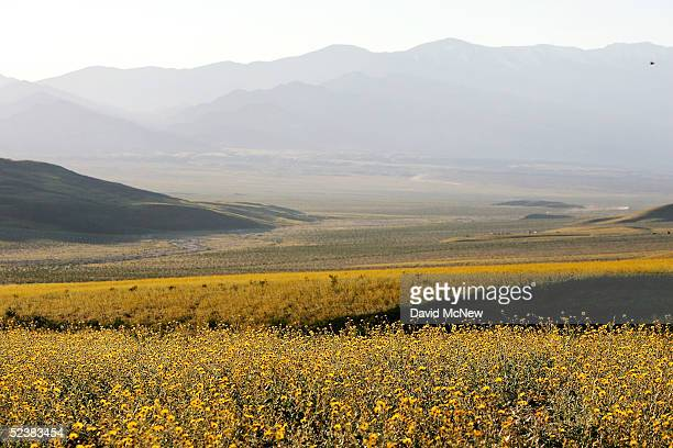 Desert wildflowers blanket the landscape west of Jubilee Pass on March 12 2005 in Death Valley National Park California The wettest year on record...