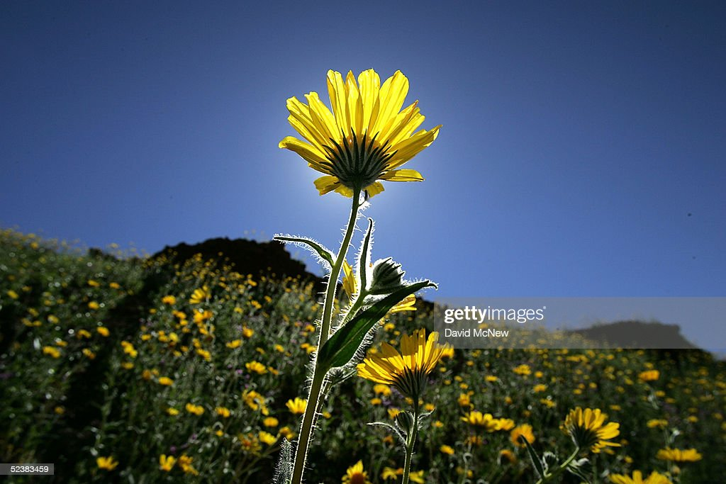 Desert wildflowers bloom on March 12 2005 in Death Valley National Park California The wettest year on record has brought massive blooms of desert...