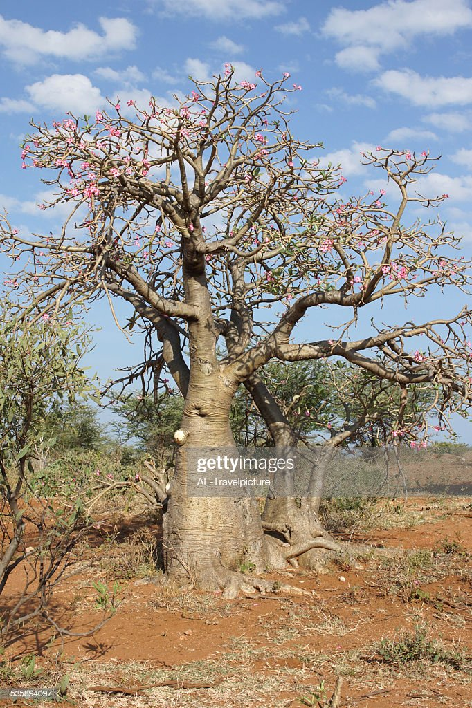 Desert-rose, Ethiopia, Africa : Stock Photo
