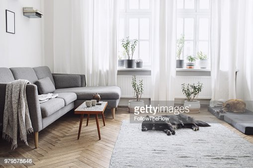 Design interior of living room with small design table and sofa. White walls, plants on the windowsill and floor. Brown wooden parquet. The dogs sleep in the room. : Stock Photo