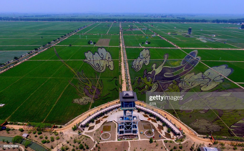 Designs created using different varieties of rice are seen behind a viewing platform at a farm in Shenyang in China's northeast Liaoning province on June 14, 2017. Varieties of different coloured rice were used in the designs, which aim to promote tourism in the area and boost the income of local farmers. / AFP PHOTO / STR / China OUT