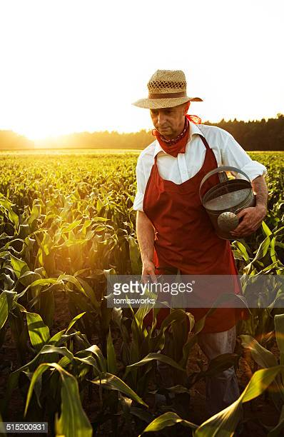 desperate farmer want to irrigate maize field with watering can