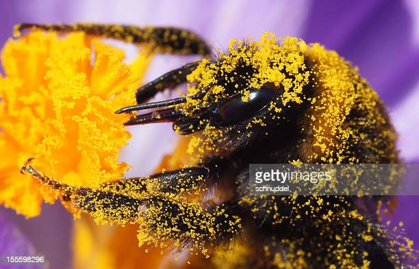 Detail of a bumble bee