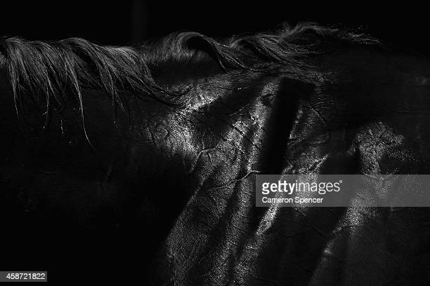 Detail of a horse in the Birdcage on Oaks Day at Flemington Racecourse on November 6 2014 in Melbourne Australia