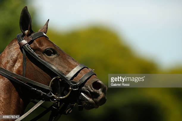 Detail of a horse prior to a match between Ellerstina Piaget and Chapaleufu Cardon as part of second round of 121th Argentine Polo Open Championship...