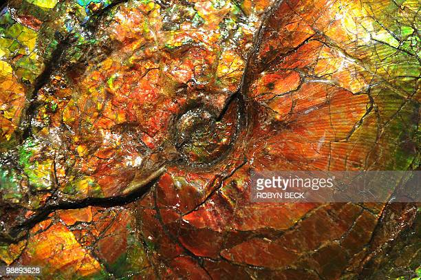 A detail of a large opalescent ammonite with an estimated sale price of USD2000023 on display at an auction preview May 6 2010 in Los Angeles Bonhams...