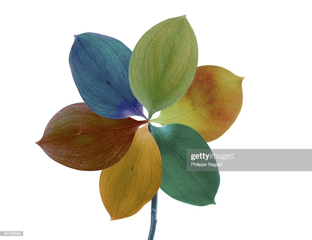 Detail of a multicolor flower on white background : Stock Photo