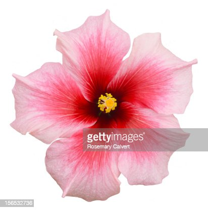 Detail of a pink hibiscus flower in close-up.