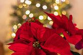 Detail of a poinsettia Christmas plant
