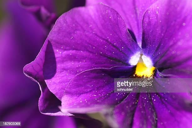 Detail of a purple pansie