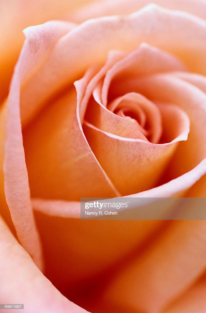 Detail of a Rose : Stock Photo