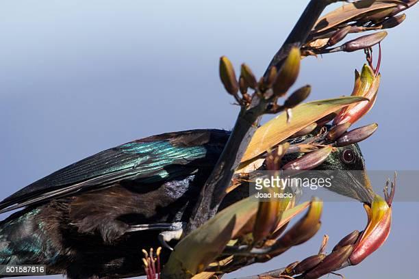 Detail of a Tui (Prosthemadera novaeseelandiae) feeding