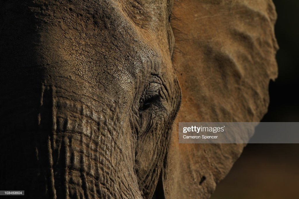 Detail of an elephant at the Mashatu game reserve on July 26, 2010 in Mapungubwe, Botswana. Mashatu is a 46,000 hectare reserve located in Eastern Botswana where the Shashe river and Limpopo river meet.