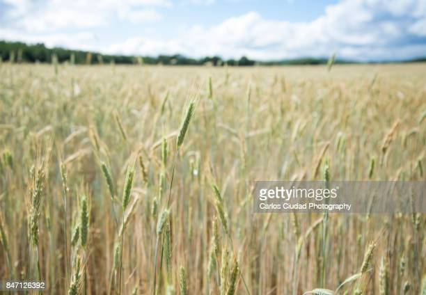 Detail of barley crop in a field against cloudy sky