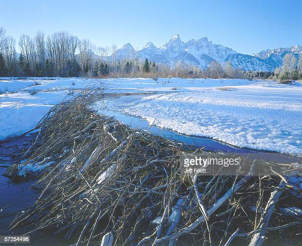 Detail of beaver dam in river with snow covered mountains in distance. Grand Teton Range, Grand Teton National Park, Wyoming.
