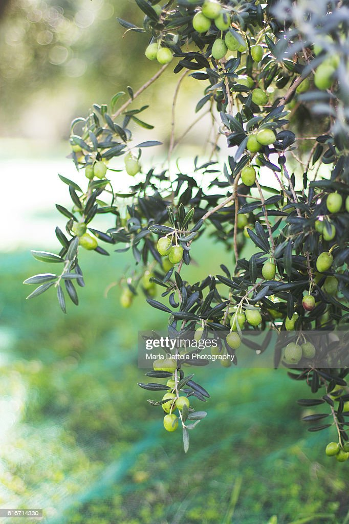 Detail of branches with olives in rural field : Stock Photo
